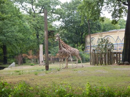 Zoo Berlin - Giraffen