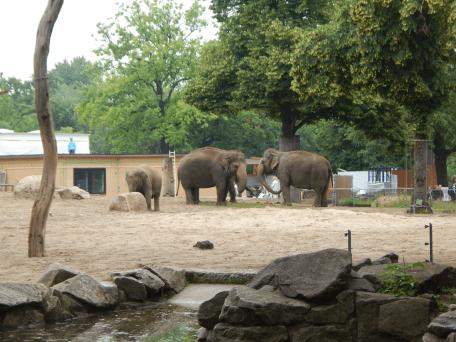 Zoo Berlin - Indische Elefanten