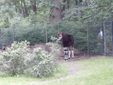 Zoo Berlin - Okapi