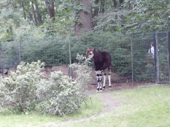 Zoo Berlin - Okapi