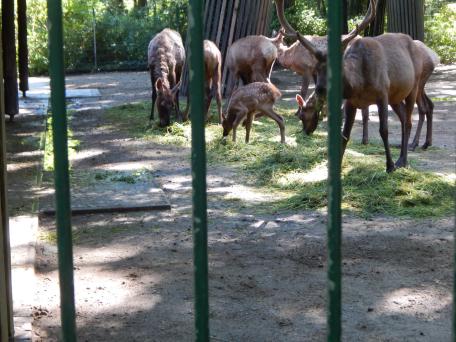 Tierpark Berlin - Hirschkalb