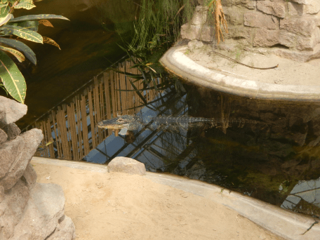 Tierpark Berlin - Alligator