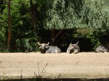 Tierpark Berlin - Indischer Wasserbüffel