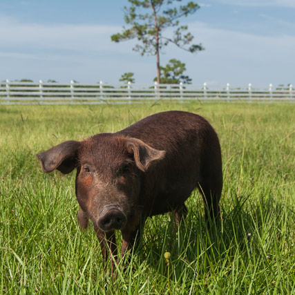 Red Wattle Pig