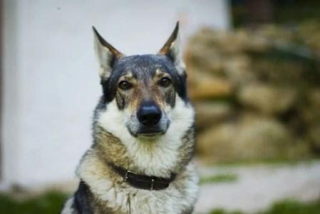 Wolfdog - Strongest Dog Bite