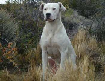 Dogo_argentino_recentre