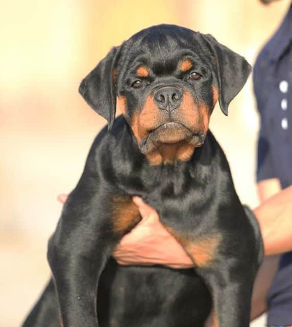 Is My Rottweiler German Rottweiler Or American Rottweiler