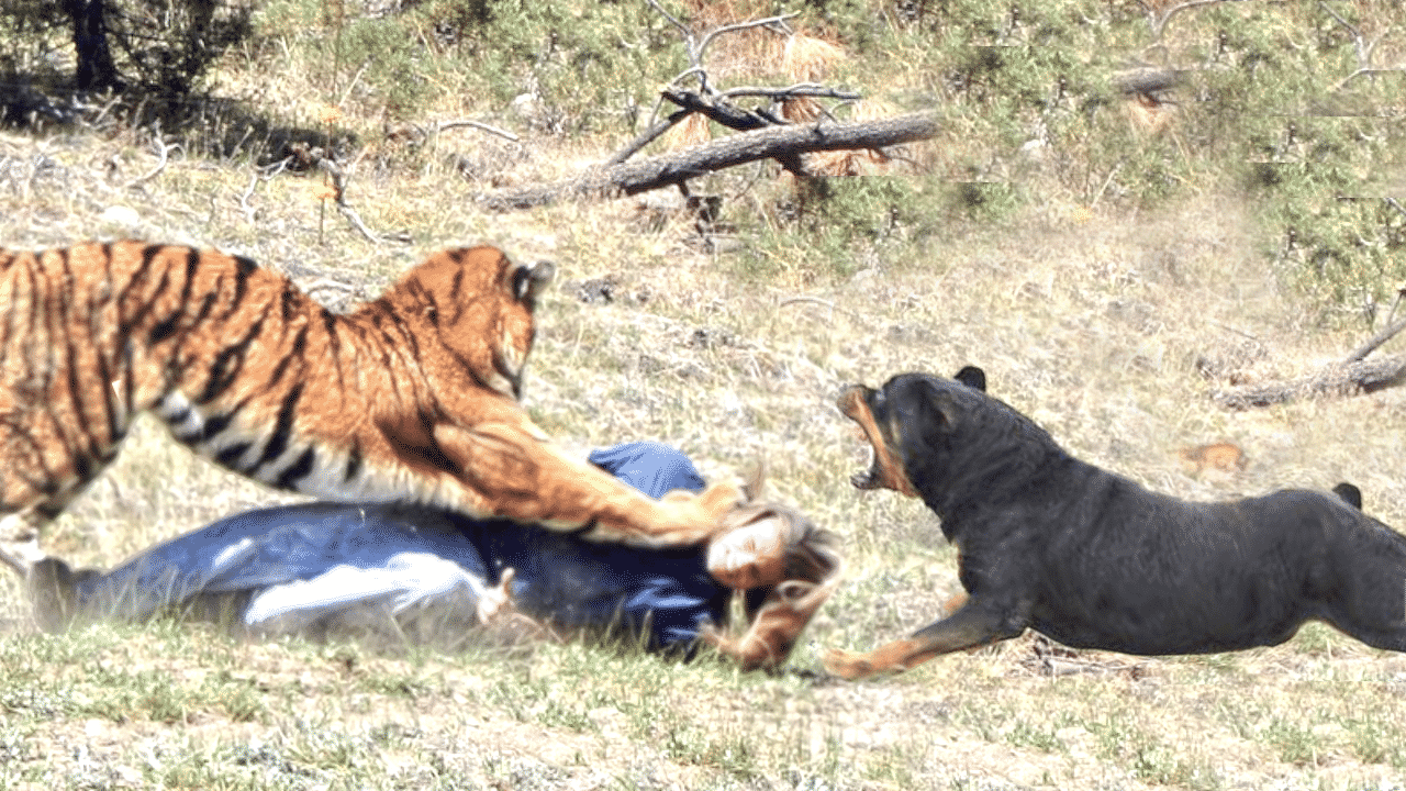 rottweiler saves a woman from tiger attack - rottweiler life