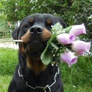 13 Reasons Not to Get a Rottweiler