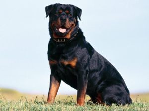 Rottweiler Breed Description