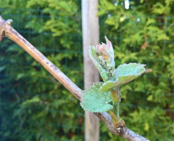 Weinfrühling im Garten
