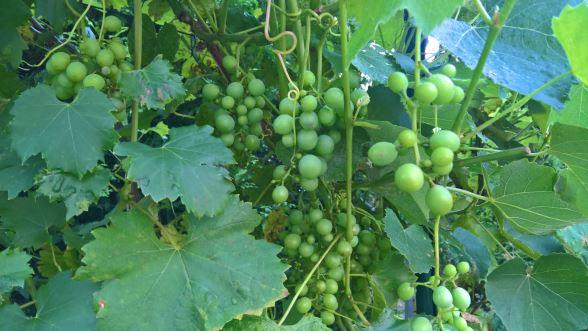 Wein-im-Garten_Aug.2016_003