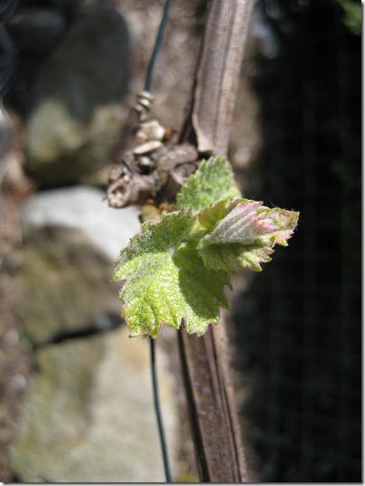 Weinaustrieb_Wein-im-Garten2