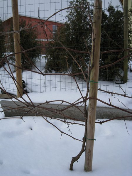 Weinrebe im Winter
