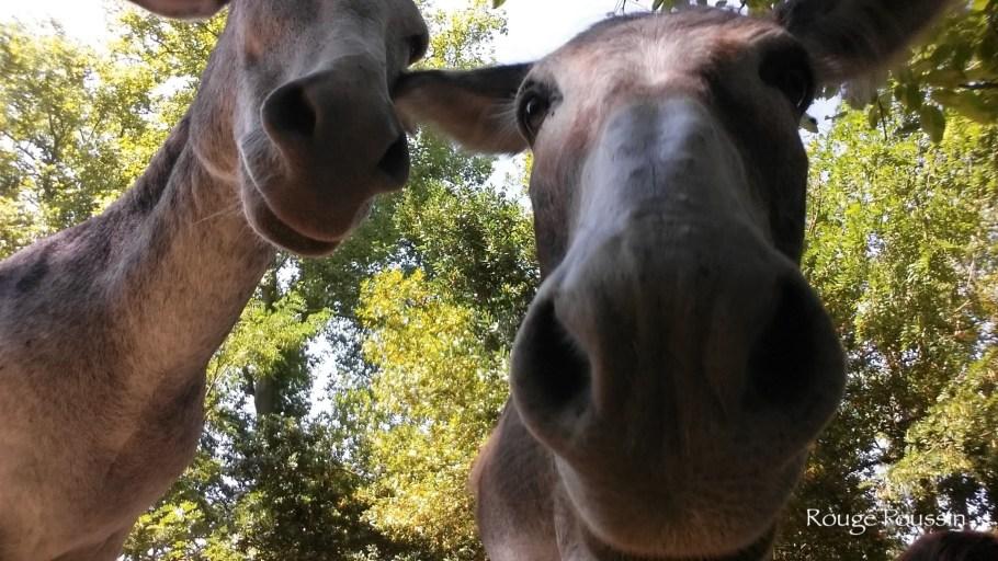 Photo des ânes du château de Bergues à Toulouse, photographiés de très, très près.
