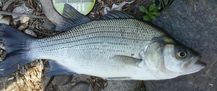 Image result for white bass