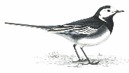 pied-wagtail