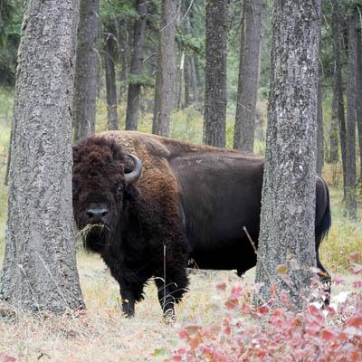Safari aux bisons dans le Montana  |  Bison safari in Montana