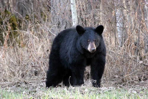 Look out for black bears along Route 66