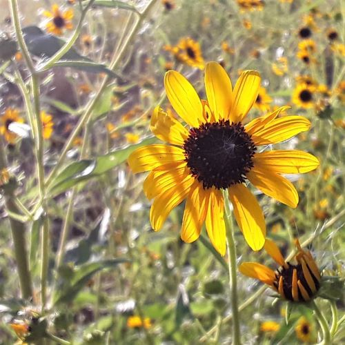 Annual bloom of endangered Pecos sunflowers in Santa Rosa is happening now