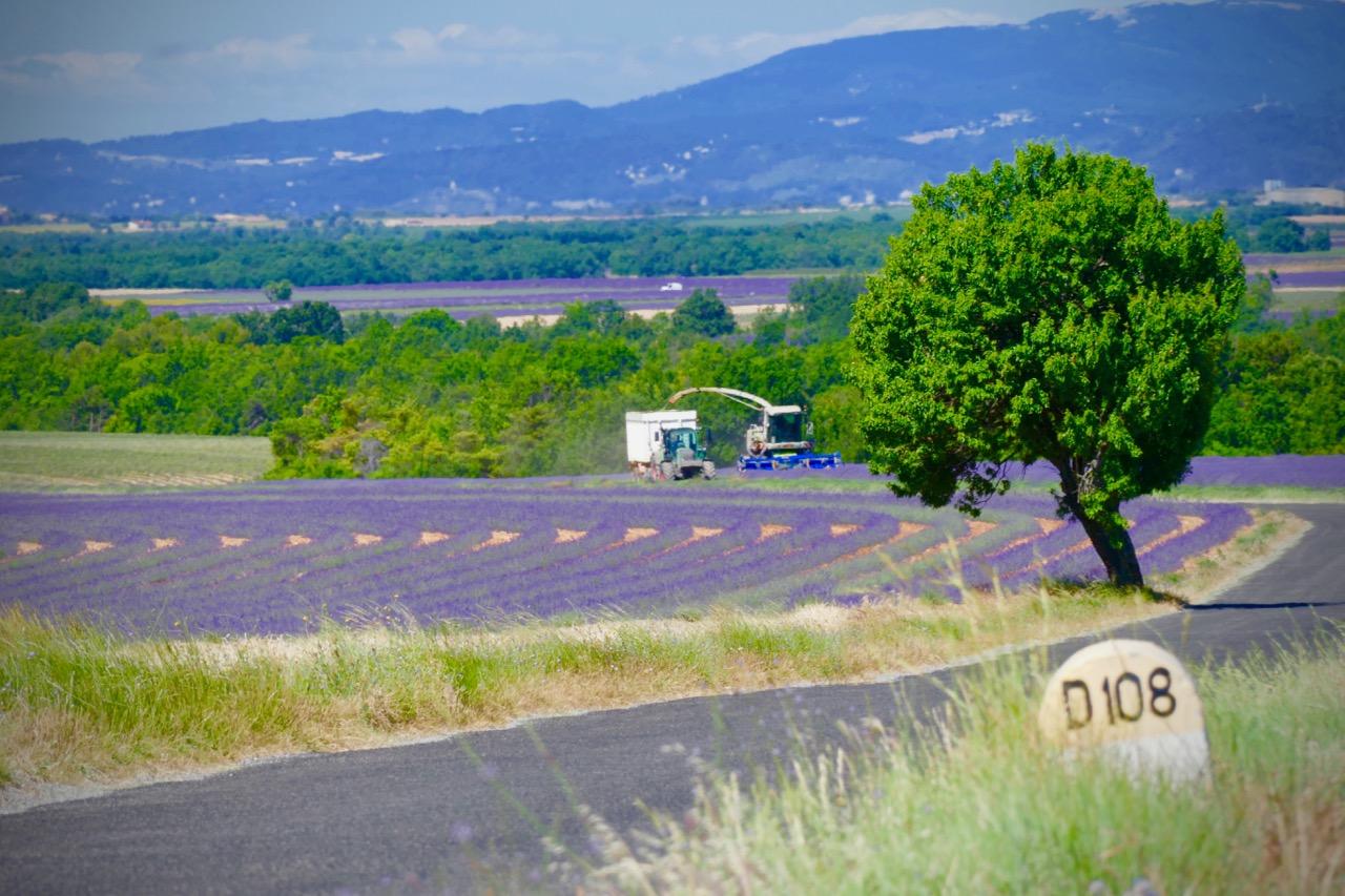 récolte lavande Provence