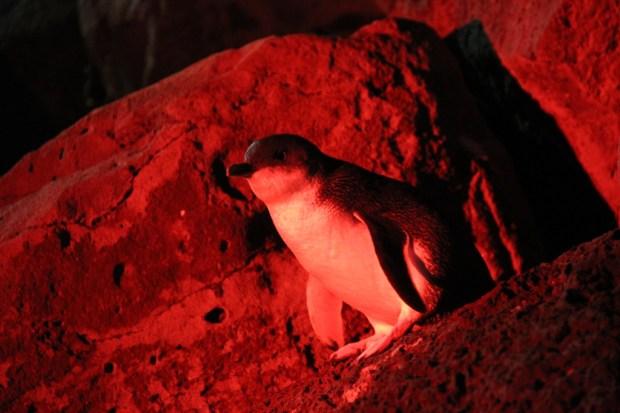 A Little Penguin at St Kilda Pier, Melbourne