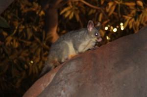 A possum in Fitzroy Park, Melbourne
