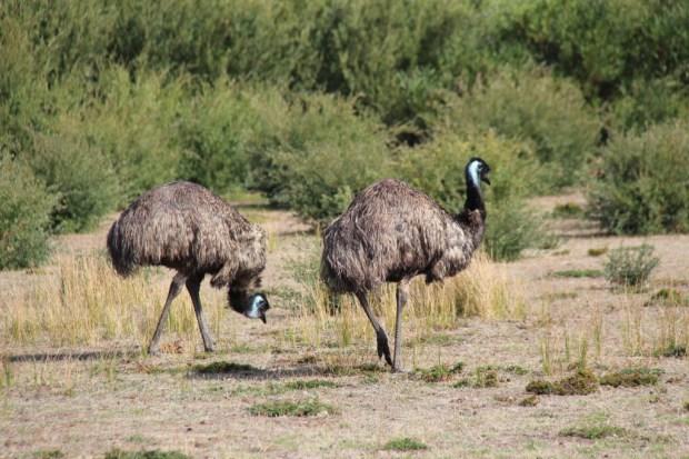 Emus in Wilsons Promontory