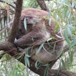 A koala, Phillip Island