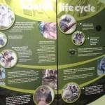 Learning about koalas, Phillip Island