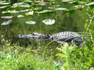Dreaming about travel: alligator in Shark Valley, Florida