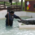 Alligator show, Miccosukee Village, Florida