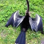 Anhinga bird in the Everglades