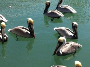 Pelicans, Harbor Walk, Key West