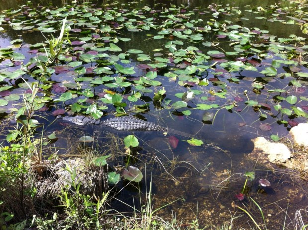 Day trip to Shark Valley, an alligator