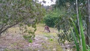 Anglesea Golfcourse kangaroo