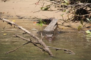 A crocodile, Daintree River