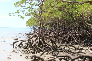Mangrove on Cape Tribulation Beach