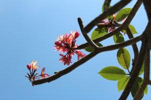 Pink flowers in Bali