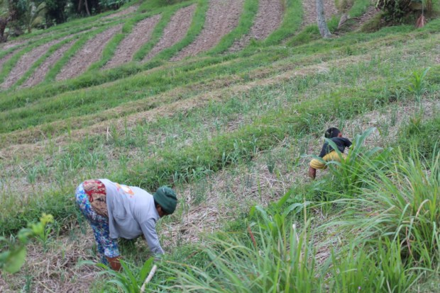 Working in the ricefield, Day Trip to West Bali
