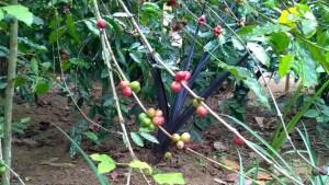 Balinese coffee beans