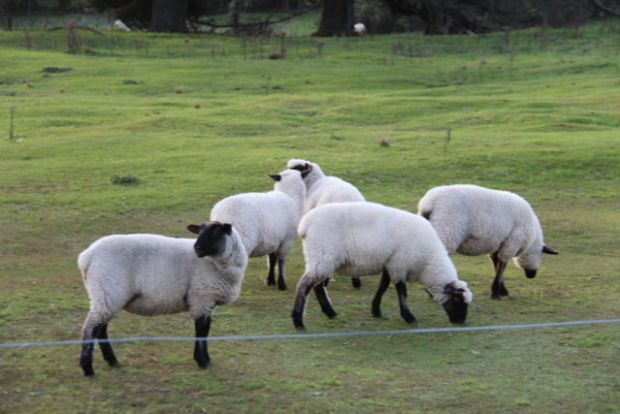 New Zealand South Island sheep