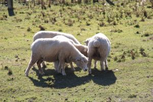 Sheep in Lindis Valley