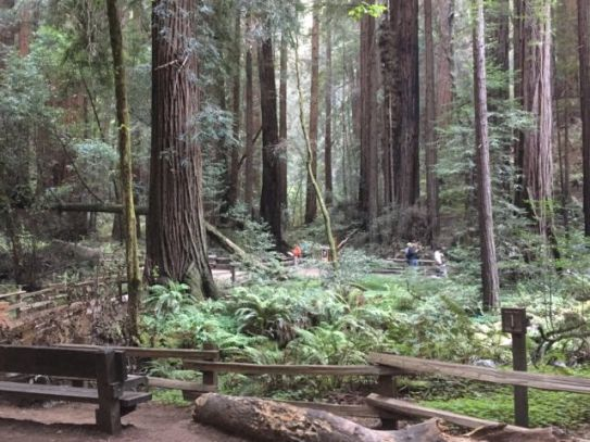 Day trip to Muir Woods redwood forest, walking track