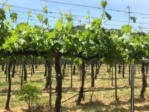 Napa Valley vineyards California