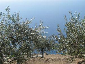 Cinque Terre Manarola olive trees