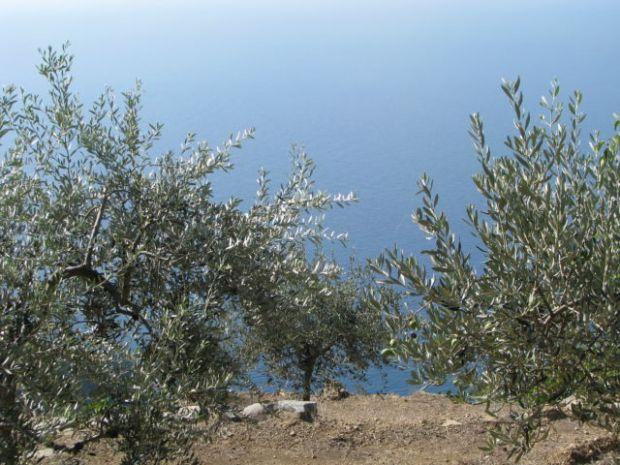 Cinque Terre olive trees