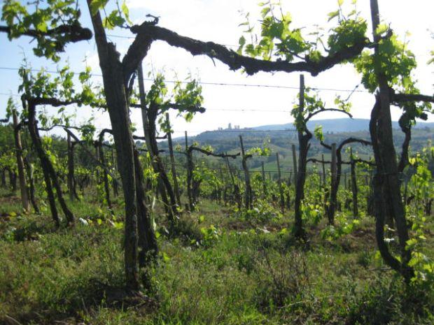 Tuscany Scenic Tour vineyards