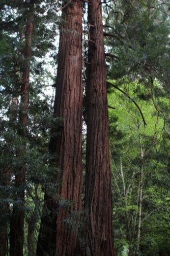 Muir Woods Redwood Forest