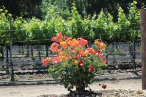 Santa Ynez Valley vineyard flowers